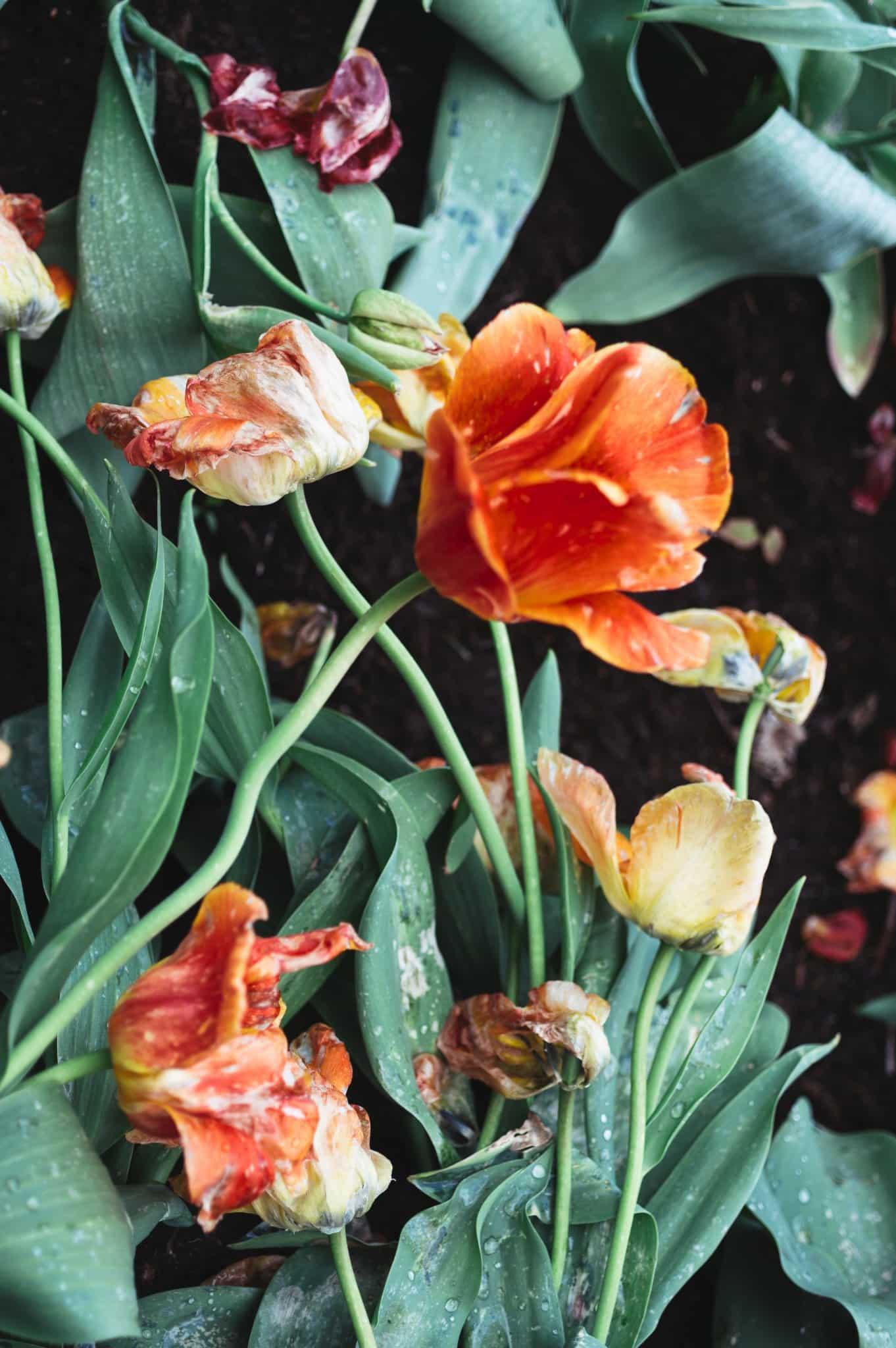Tulpės - Vilmantas Ramonas