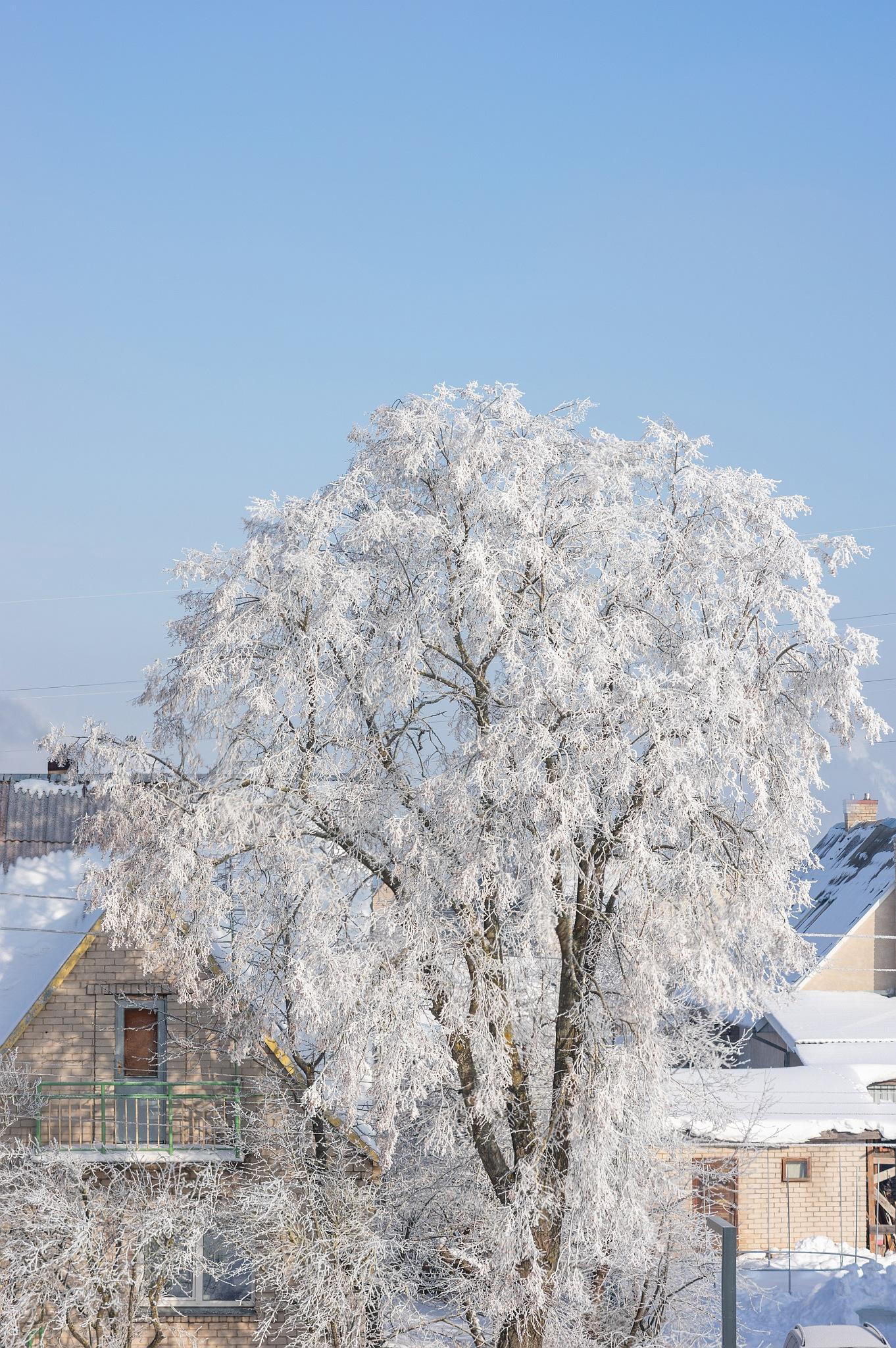 Medis žiemą - Vilmantas Ramonas