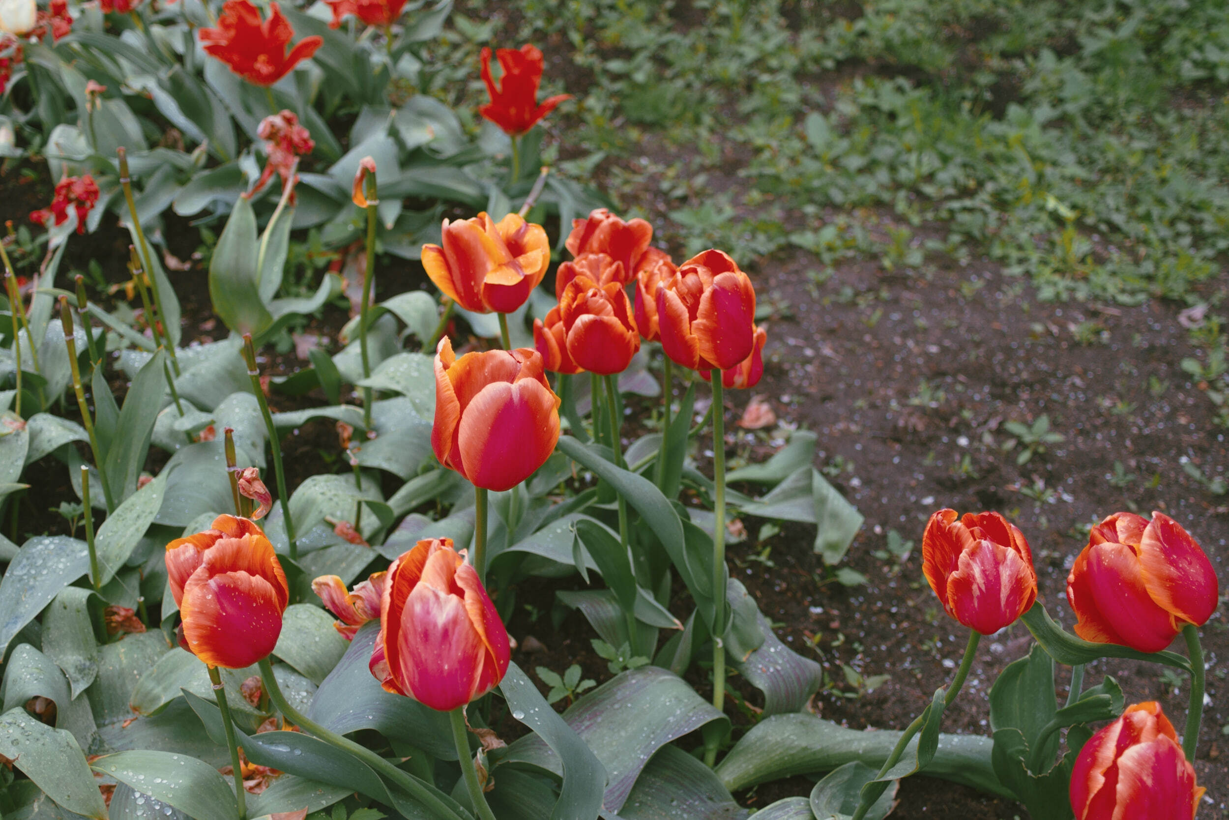 Tulpės Kauno botanikos sode