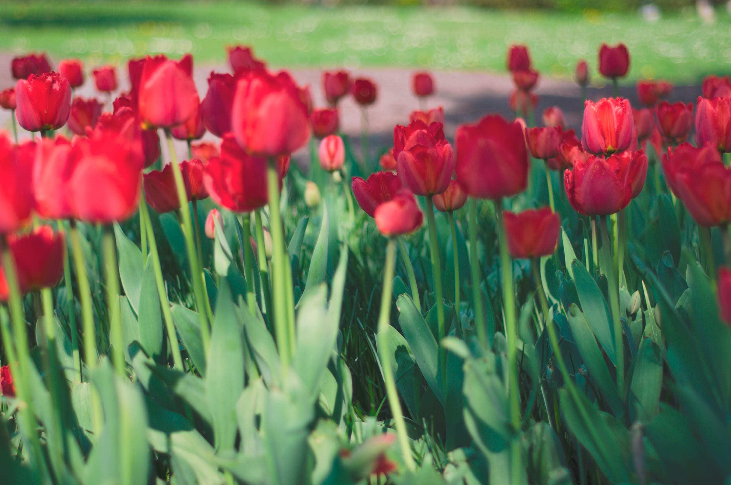Tulpės Kauno botanikos sode - Vilmantas Ramonas