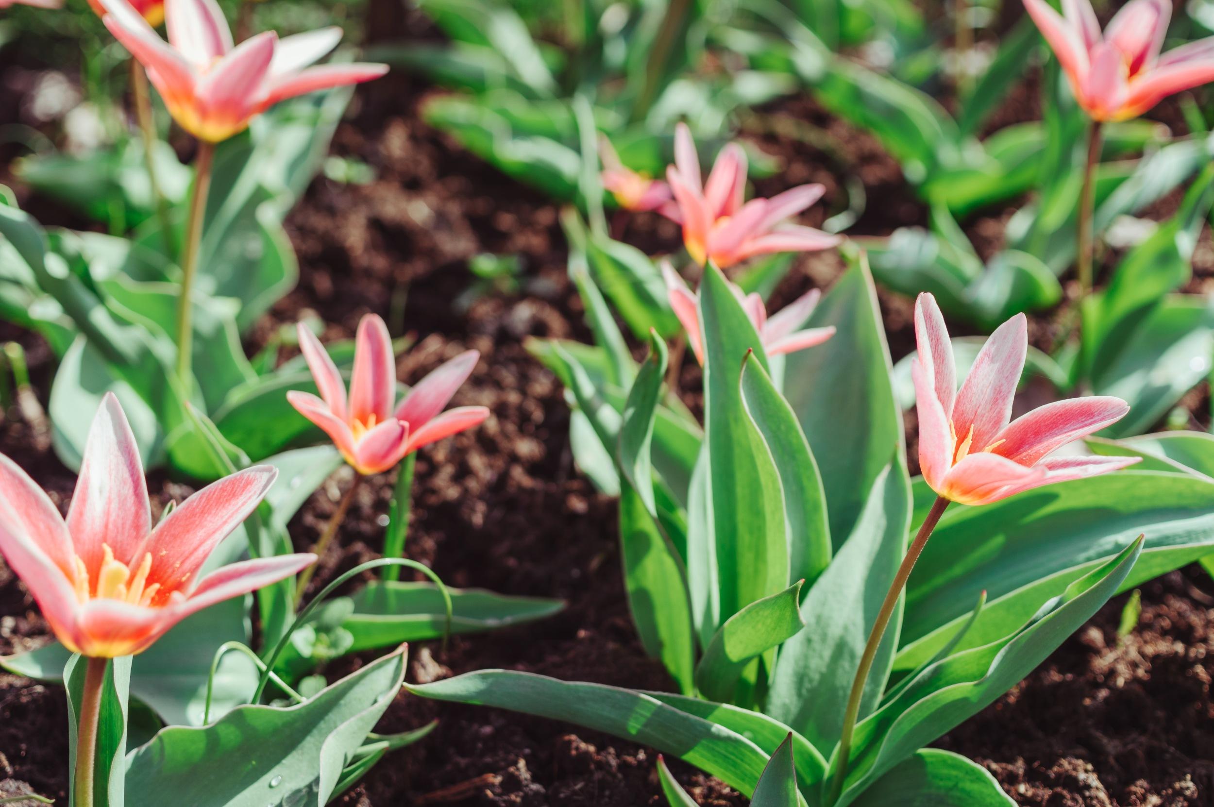 Pirmieji pavasariniai tulpių žiedai - Vilmantas Ramonas