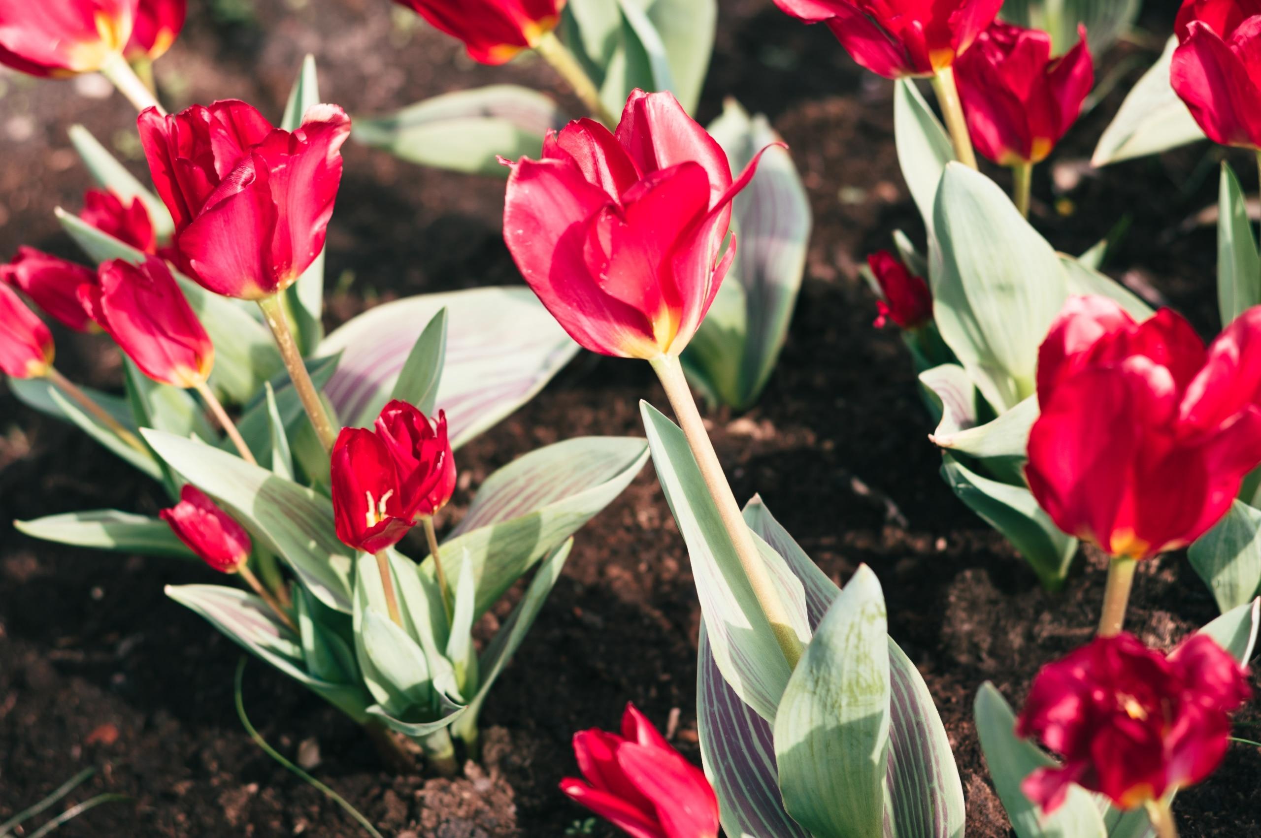 Pavasarinės tulpės - Vilmantas Ramonas